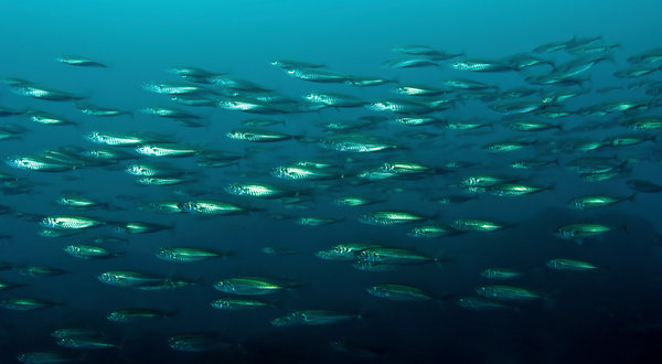 In Mackerel's Plunder, Hints of Epic Fish Collapse