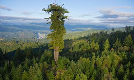 World's giant trees are dying off rapidly, studies show
