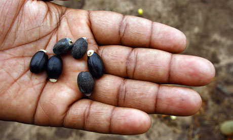 A worker shows Jatropha seeds in Manica province