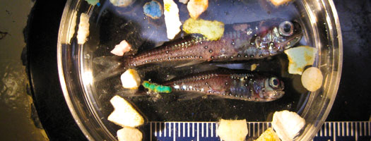 Scripps Study Finds Plastic in Nine Percent of 'Garbage Patch' Fishes