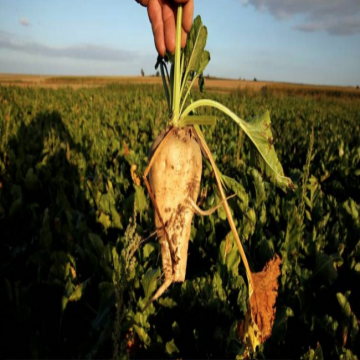 French farmer holding beet
